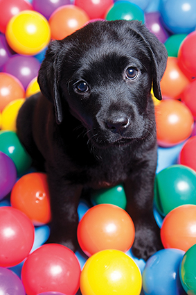 Black Labrador puppy sitting amongst colourful plastic balls